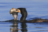 Cormorant with prey