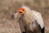 Egyptian vulture (captive)