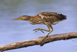 Little Bittern