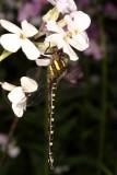 Spiketails : Cordulegastridae