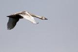 Mute Swan / Juvenile
