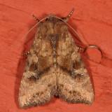 Noctuidae - Amphipyrinae Moths : 9325 - 9872