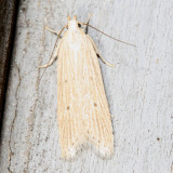 1681-2311 : Gelechiidae