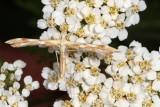Pterophoridae - Plume Moths : 6089-6234