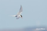 Silvertärna / Arctic Tern