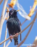 Stare / Common Starling