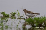 Småsnäppa / Little Stint