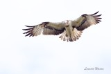 Fiskgjuse / Osprey / Female
