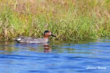 Kricka / Common Teal