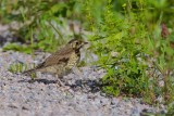 Taltrast / Song Thrush