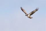 Fiskgjuse / Osprey / Male