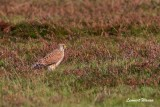 Tornfalk / Common Kestrel
