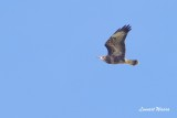 Ormvråk / Common Buzzard