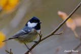 Svartmes / Coal Tit