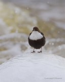Strömstare / White-throated Dipper