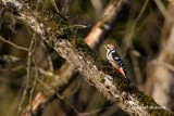 Vitryggig hackspett / White-backed Woodpecker
