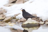 Koltrast / Common Blackbird