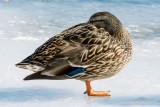 Birds on Richelieu river