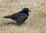 Crows & Jays