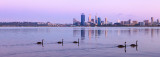 Black Swans on the Swan River at Sunrise, 18th November 2012