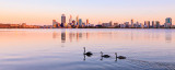 Black Swans on the Swan River at Sunrise, 26th December 2012