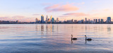 Black Swans on the Swan River at  Sunrise, 26th April 2013