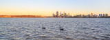 Black Swans on the Swan River at Sunrise, 10th November 2013