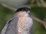 Sperwer   -   Sparrow Hawk