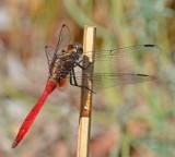 Fiery Skimmer (Orthetrum villosovittatum)