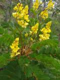 Senna magnifolia