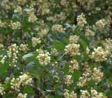 Irvinebank Wattle (Acacia leptoloba)
