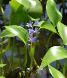 Monochoria (Monochoria cyanea)