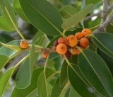 a rock fig (Ficus sp)