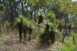 woodland with grass-trees