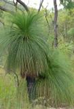 Northern Forest Grass-tree (Xanthorrhoea johnsonii)