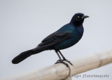 Boat-tailed Grackle (4)