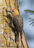 Hoffman's Woodpecker (4)