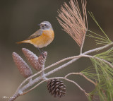 671A9290-1.jpg    common Redstart