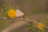 671A0085.jpg    Deudorix livia   rimon