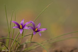 671A3876.jpg   Romulea phoenicea