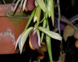 20171469  -  Coelogyne usitana 'Michael Olbrich' CCM/AOS  (85-points)  2-4-2017  (Olbrich Garden)  Flower