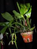 20171469  -  Coelogyne usitana 'Michael Olbrich' CCM/AOS  (85-points)  2-4-2017  (Olbrich Garden)  plant