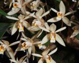 20171470  -  Coelogyne flaccida  'Michael Olbrich'  CCM/AOS (85-points)  2-4-2017  (Olbrich Garden)  flower  2