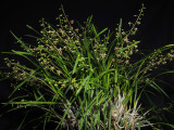 20171468  -  Prosthechea panthera  'Michael Olbrich'  CCM/AOS  (82-points)  2-4-2017  (Olbrich Garden)  plant