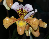 20171480  -  Paph.  Nutrix  'Hampshire'  CCM/AOS  (84  -  points)  2-18-2017  (Arnold Klehm)  flower