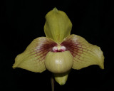 20162642  -  Paph.  Shun-Fa  Golden  'Doug  Carnahan'  AM/AOS  (82  -  points)  10-15-2016  (David Bird)