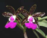 20162590  -  Cattleya  Pradit's  Spot  'Isabel's  Delight'  AM/AOS  (82  -  points)  9-17-2016  (Natt's Orchids)  two  flowers