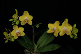 20171508  -  Phal.  Lioulin  Lawrence  'Dusty's  Sunshine  G847'  HCC/AOS  (77 points)  5-13-2017  (Lois & Nile Dusdieker)