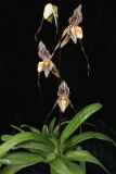 20171501  -  Paph.  Saint  Swithin  'Twin  Sisters'  HCC/AOS  (77  -  points)  3-18-2017  (Terry  Partin)  plant