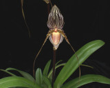 20171501  -  Paph.  Saint  Swithin  'Twin  Sisters'  HCC/AOS  (77  -  points)  3-18-2017  (Terry  Partin)  flower